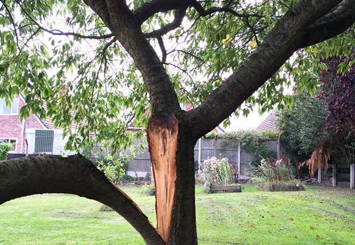 Formative pruning is carried out to enhance the branch structure, enabling the tree to be free from mechanical weaknesses.